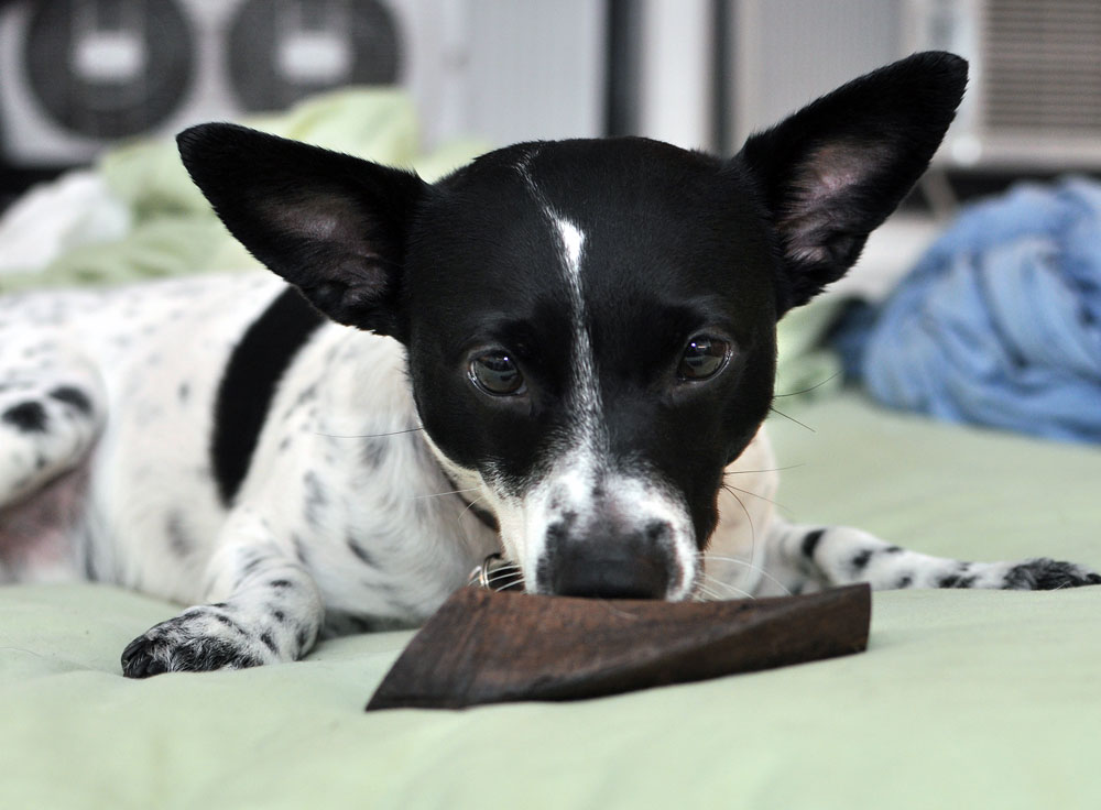 The lovely folks at Barkworthies sent Henry a Goat Horn Chew to review, and I couldn't wait to see his reaction to this natural, long-lasting chew!