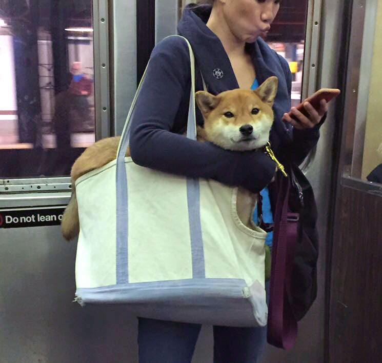 Shiba Inu Dog in a bag on the subway